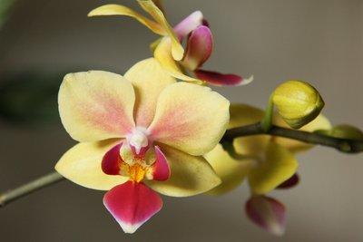 Damit Sie Ihre Phalaenopsis immer wieder mit reicher Blüte erfreut, müssen Sie regelmäßig umtopfen.