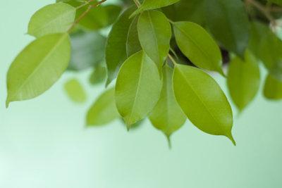 Ficus benjamini ist eine robuste Zimmerpflanze.