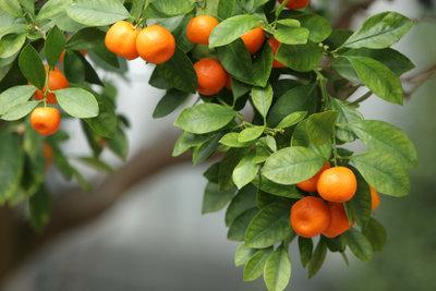 Ein Orangenbäumchen gehört zu den dekorativsten Kübelgewächsen für die Pflanzensammlung.