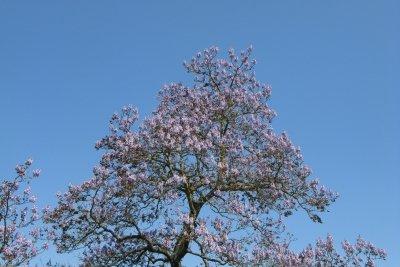 Kiri-Bäume halten die Kälte fern.