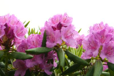 Der Rhododendron sollte richtig gepflegt werden.