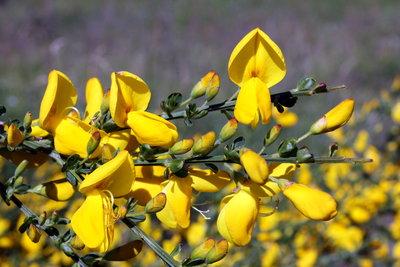 Ginster bildet sehr viele kleine Blüten.