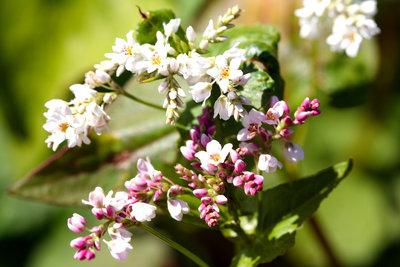 Buchweizen ist eine Knöterichpflanze und glutenfrei.