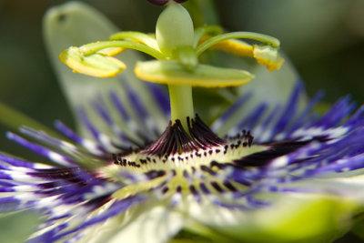Passionsblumen ziehen mit ihren einzigartigen Blüten die Blicke auf sich.