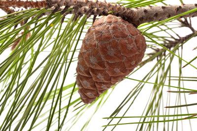 Pinien gehören zu den Kieferngewächsen.