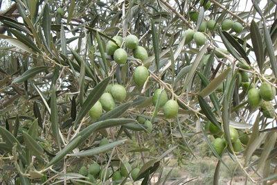 Olivenbäume haben eine schöne Blattfarbe.