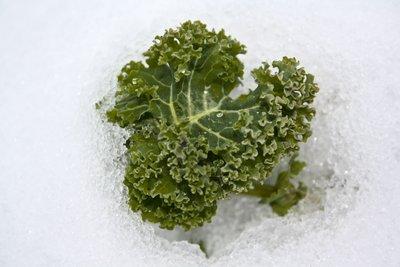 Typisches Wintergemüse ist unempfindlich gegen Frost.