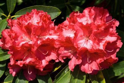 Der Rhododendron lässt sich über Absenker am einfachsten vermehren.