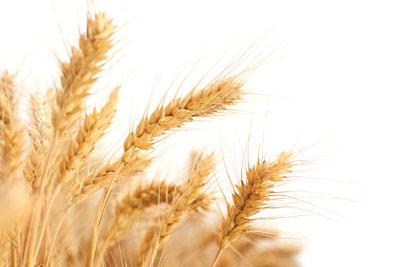 Weizen ist tabu bei Glutenallergie.