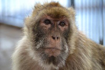 Karneval: Verkleiden Sie sich als Affe.