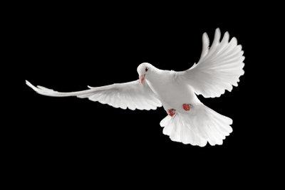 Die Taubenaufzucht sollte sorgfältig durchgeführt werden.