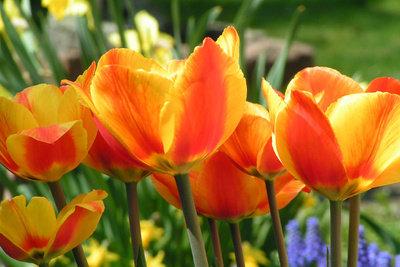 Alle Pflanzen, wie Tulpen, sind abhängig vom Wasser. Ihr Wasserhaushalt darf darum nie abbrechen.