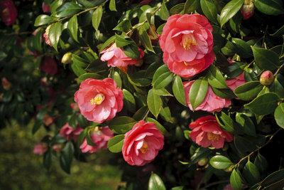 Camellia japonica ist ein anspruchsvoller und zugleich spektakulärer Blütenstrauch.