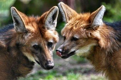 Füchse in Fabeln symbolisieren schlaue Menschen.