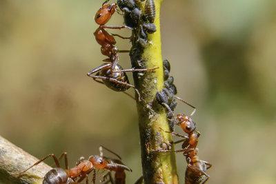 Ameisen bringen die Blattläuse an Pflanzen, die diese nur schwer erreichen.
