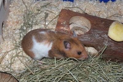 Ein Hamster ist nachts sehr aktiv.