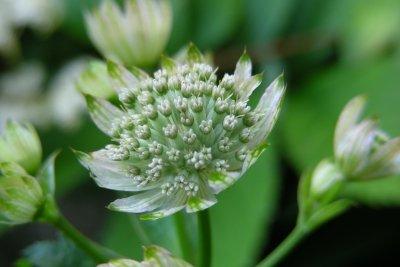 Die Sterndolde sieht am schönsten in Gruppen gepflanzt aus.