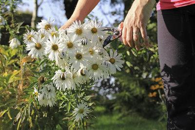 Margeritenbäumchen blühen im Sommer und müssen im Winter ins Haus.