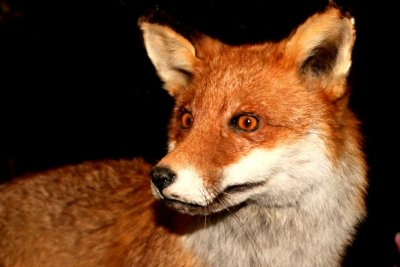 Der Fuchs - ein beliebtes Fabeltier.