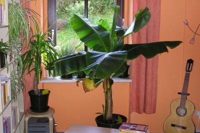 Ein kleiner Bananenbaum passt ins Zimmer.