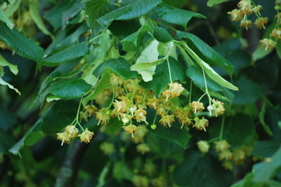 Lindenblütentee hilft bei Erkältungskrankheiten.