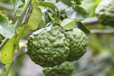 Die Bergamotte ist hierzulande eine beliebte mediterrane Zierpflanze für Balkon und Terrasse.
