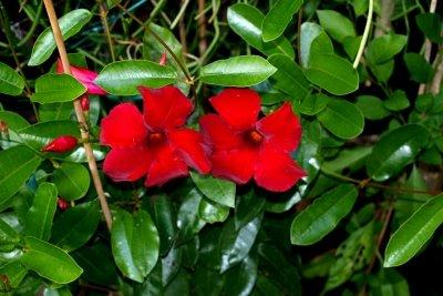 Die Tropidenia wirft kaum Blüten ab.