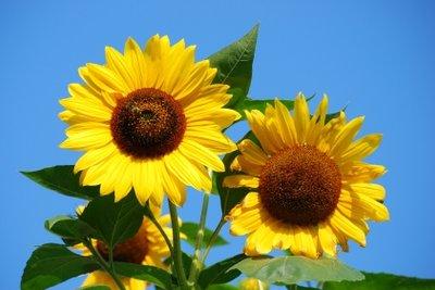 Basteln Sie zum Thema Sonnenblumen.