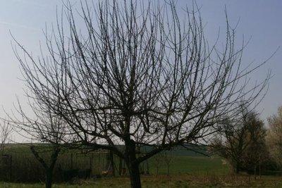 Ohne Schnitt verwildert der Baum, der Ertrag sinkt.