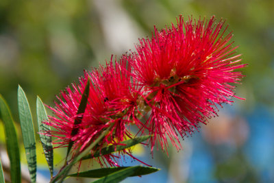 Pfeifenreiniger belohnen gute Pflege mit einer schönen Blüte.