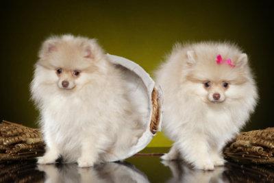 VDH-Züchter verkaufen süße Pomeranians.