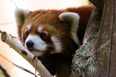 Der Namensgeber von Mozilla Firefox.