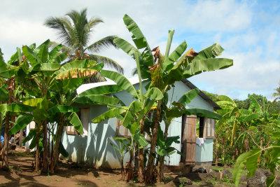 Bananenstauden können sehr groß werden.