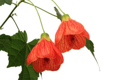 Die Blüten der Schönmalve erinnern an Schmetterlinge, die Blätter an einen Ahorn.