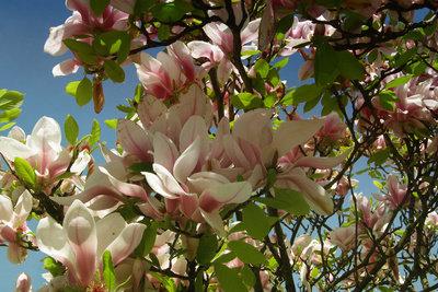 Magnolien bilden sehr große Blüten.