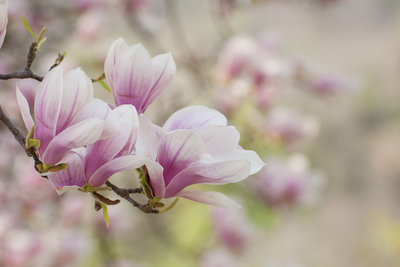Magnolien bringen einen Hauch ferner Länder nach Europa.