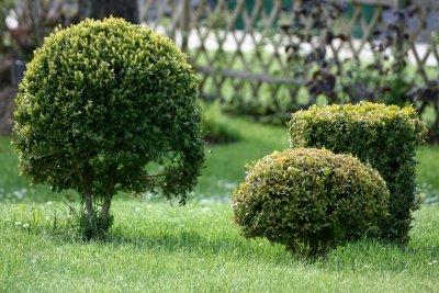 Die Buchsbaum-Motte ist schwer zu bekämpfen.