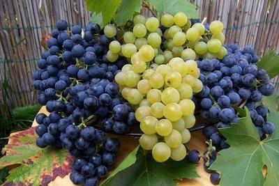 Weintrauben schmecken frisch und als Saft.