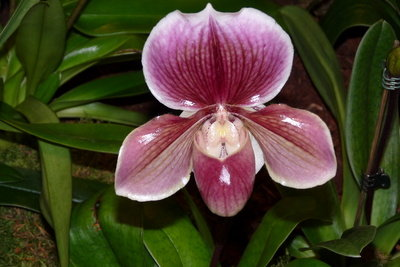 Frauenschuh - eine bewunderswerte Orchidee.