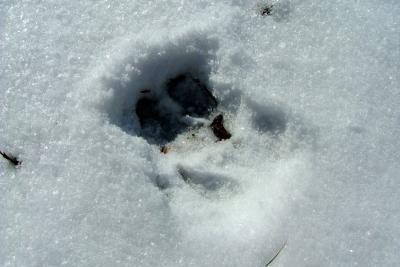 Wildschweinspur im Schnee