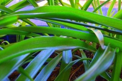 Grünlilien können durch Ableger vermehrt werden.