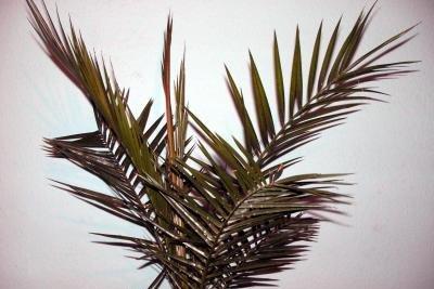 Phönix Palmen sind sehr pflegeleicht.