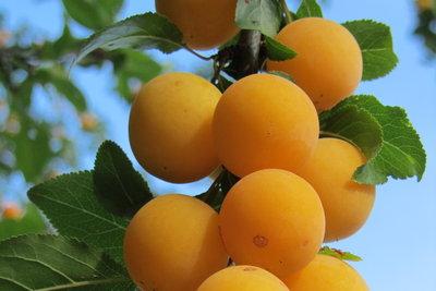 Mirabellen schmecken auch im Wein fruchtig.