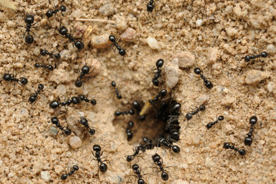 Eine Ameisenplage muss bekämpft werden.