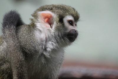 Süße Affen verführen zum Kauf.