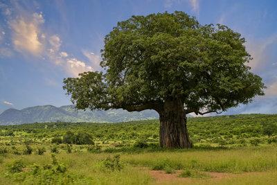 Der Affenbrotbaum erstaunt mit seiner beeindruckenden Statur und den fleischigen Blättern.