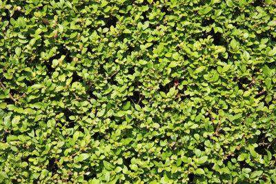 Liguster lässt sich auch als Hecke kultivieren.
