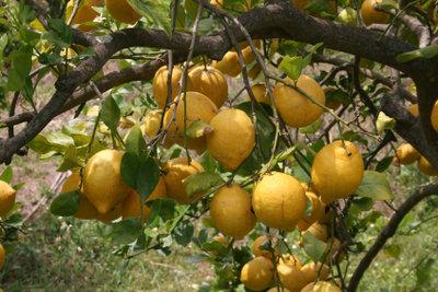 Ein Zitronenbaum hat es im Freien am liebsten.