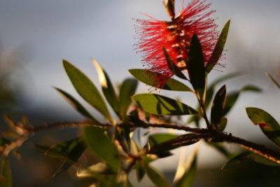 Zylnderputzer sind attraktive Gartenpflanzen.
