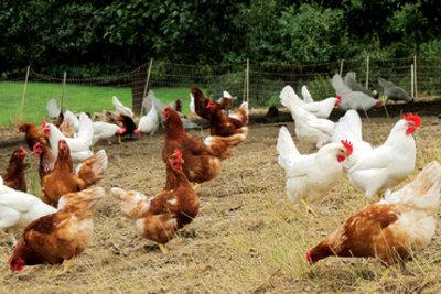 Hühnerflügel können Sie stutzen